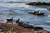 A group of California sea lions pulled up on a rocky beach near San Diego.