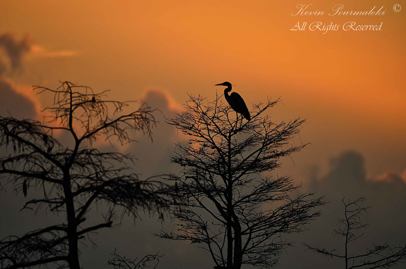 Blue Heron. Sunrise in Everglades National Park.