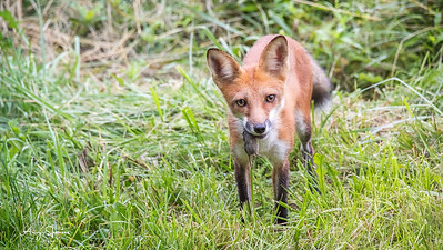 Red Fox with mouse