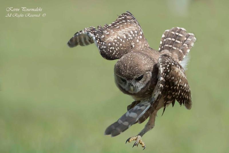 Burrowing Owl. South Florida
