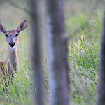 Whitetailed Deer 04