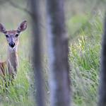 Whitetailed Deer 04