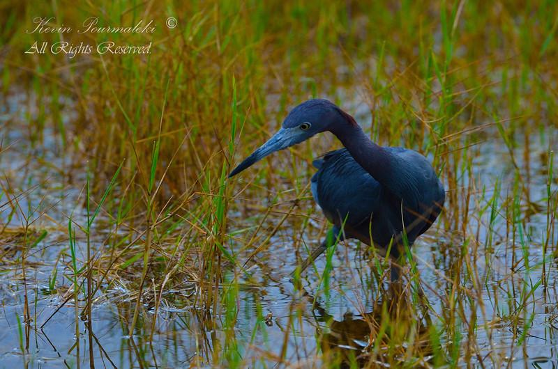 Little Blue Heron, Chapel Trail Nature Preserve. South Florida.