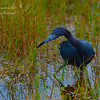 Little Blue Heron, Chapel Trail Nature Preserve. South Florida.