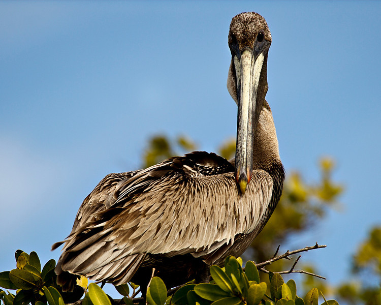 """I see you"" <br /> Brown Pelican"