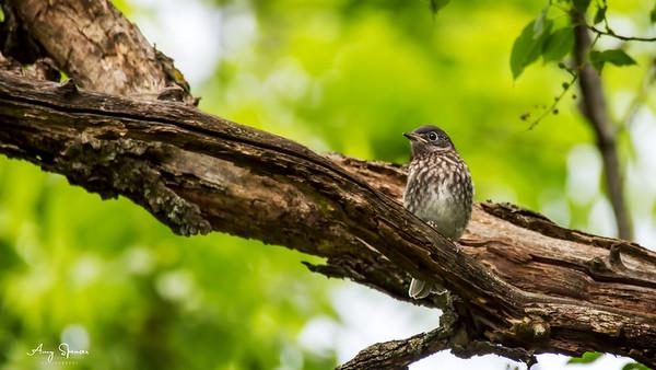 26 day old bluebird fledgling.