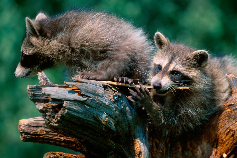 A pair of young racoons on a snag
