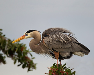 Great Blue Heron puffed up In mating plumage