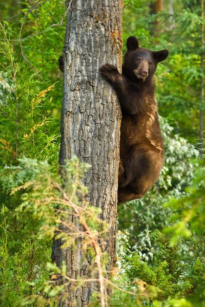 Black bear climbs a tree