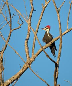 Plieated Woodpecker