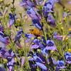A Valley Carpenter bee on Margarita Bop flowers