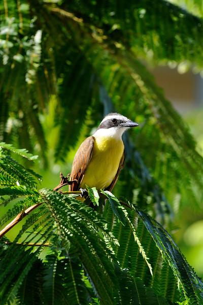 Panama Yellow Bird