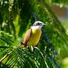 Panama Yellow Bird