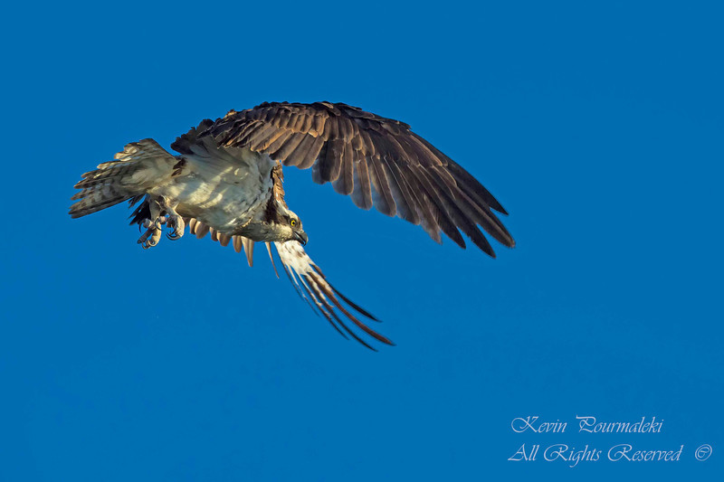 Osprey. Everglades National Park, South Florida.
