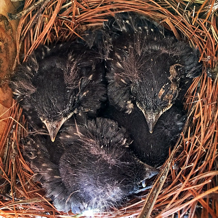 13-14 day old baby bluebirds