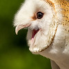 Barn Owl Portrait