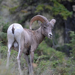 Rocky Mountain Bighorn Sheep 02