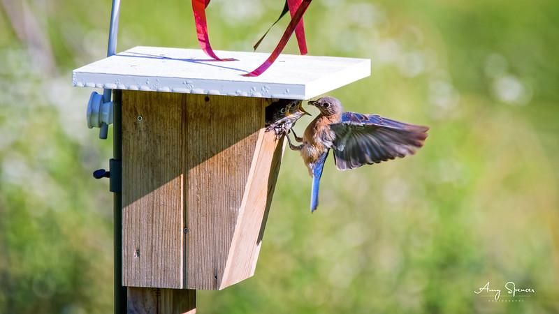 Mother bluebird feeding babies