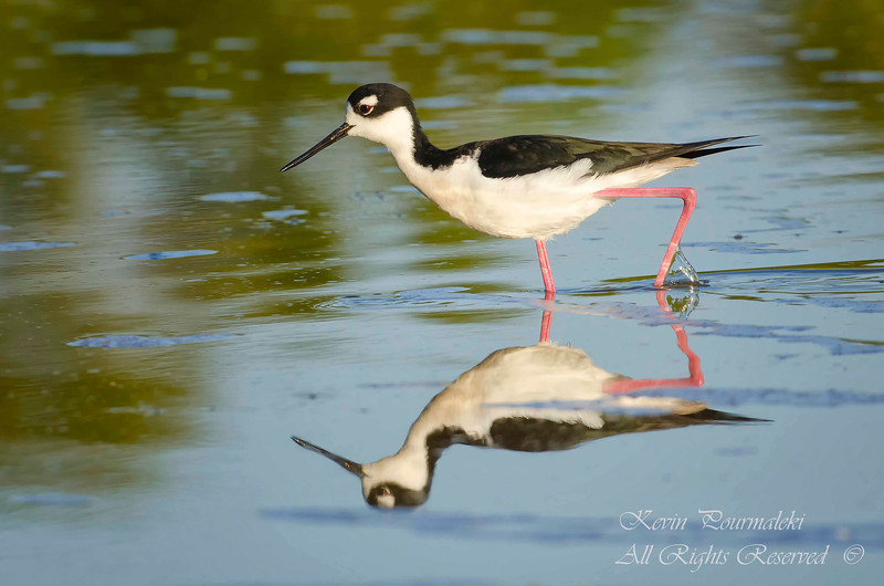 Black-Necked Stilt. Everglades National Park, South Florida.