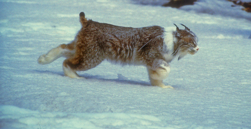 Canadian lynx, lynx released in 1999 by Colorado Division of Wildife Had white collar unusual markings and was nicknamed Sylvester by biologists.