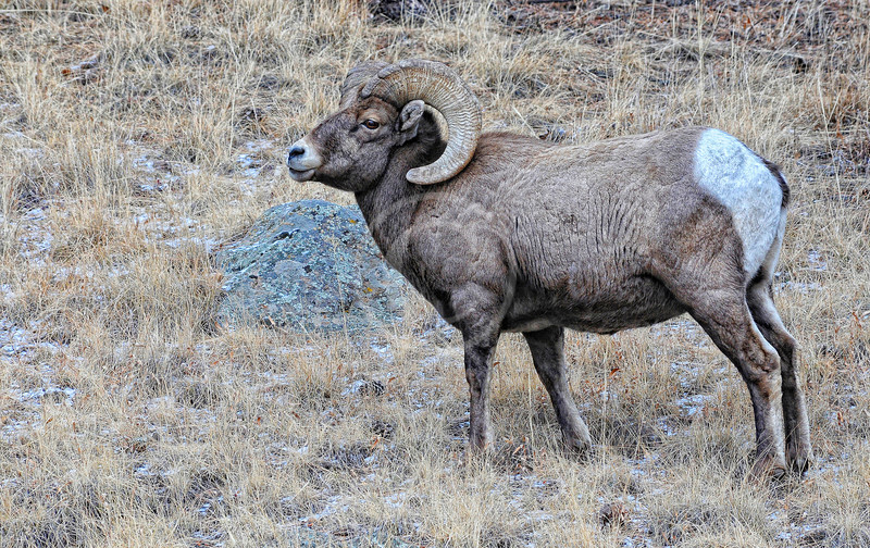 Big Horn Sheep in Rocky Mountain National Park Colorado