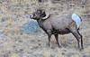 Big Horn Sheep in Rocky Mountain National Park Colorado