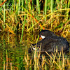 American Coot.  Everglades Park, South Florida.