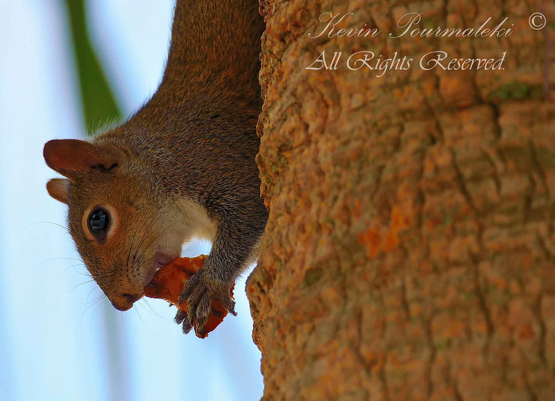 Squirrel, Piccolo Park, South Florida