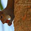 Squirrel, Piccolo Park, South Florida