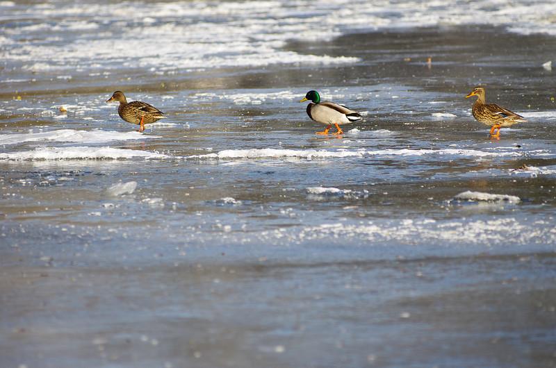 Famille canard en promenade sur une rivière glacé, ça glisse