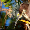 Green Heron.  Everglades National Park, South Florida.