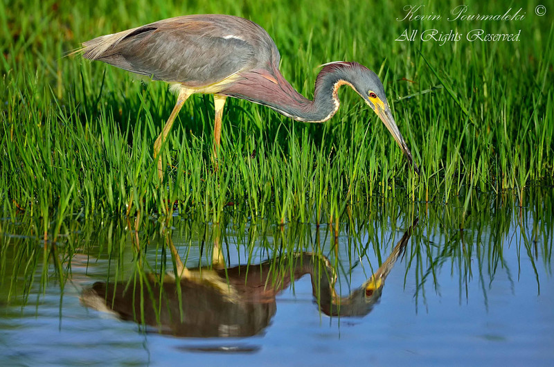 Tri Color Heron, Everglades Holiday Park. South Florida.