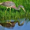 Tri Color Heron, Everglades Holiday Park. South Florida.