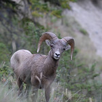 Rocky Mountain Bighorn Sheep 01