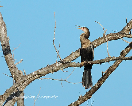 Anhinga in tree, SNWR, SC