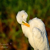 White Heron, Everglades Holiday Park.  South Florida