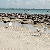 Sanibel Beach, FL with royal terns and skimmers