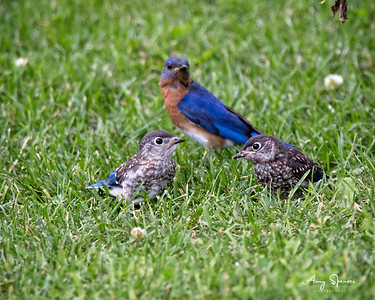 Baby bluebirds being watched by daddy bluebird