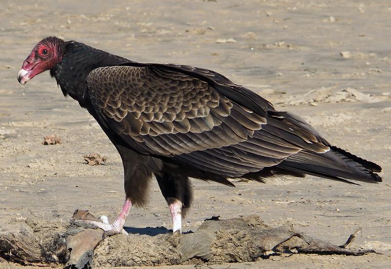 Turkey vulture on Pismo Beach, CA