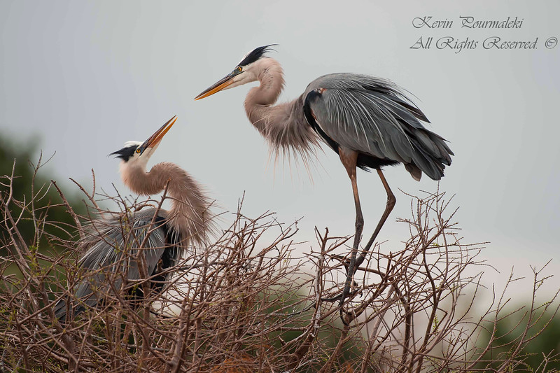 Blue Herons, South Florida.