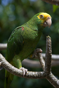 Yellow headed parrot in the tree. Dangriga, Stann Creek, Belize