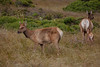 Young Elk Buck and Doe with Fawn