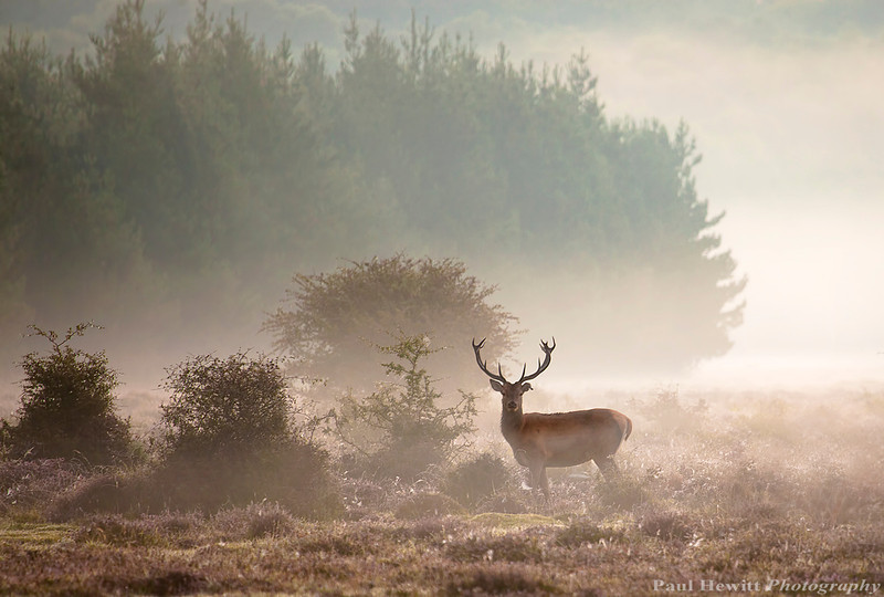 New Forest Stag 1