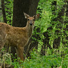 Deer<br /> Fontenelle Forest<br /> Bellevue, NE