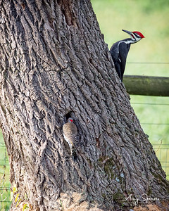 Flicker with Pileated Woodpecker