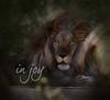 Lion at the Shambala Big Cat Sanctuary in California