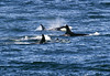 A small pod of four orca whales are surfacing in the waters of Puget Sound near San Juan Island.
