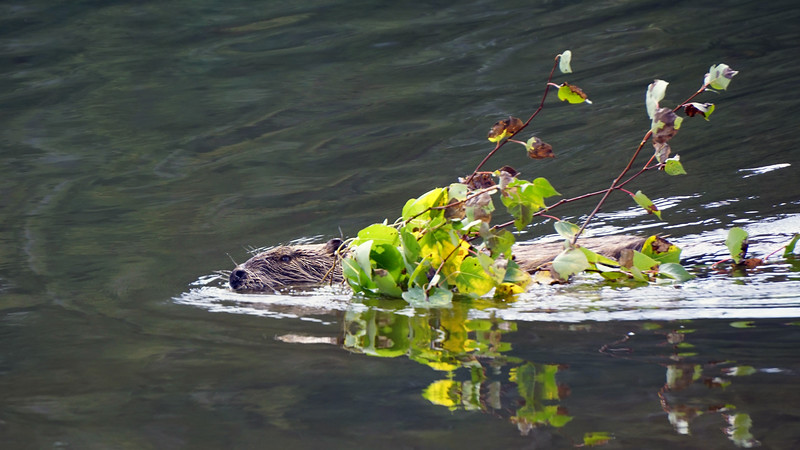 Beaver with Aspen Branch
