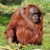 Orangutan, San Diego Zoo, San Diego, CA
