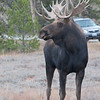 young bull moose checking out the cars and people.